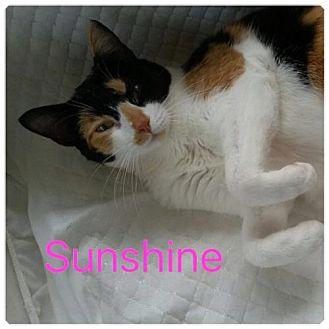 Calico Cat for adoption in Satellite Beach, Florida - Sunshine