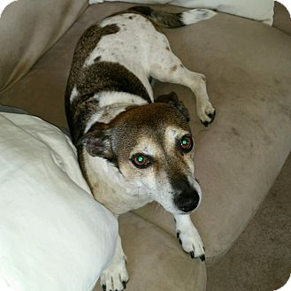 Jack Russell Terrier/Chihuahua Mix Dog for adoption in Blue Bell, Pennsylvania - Chunky