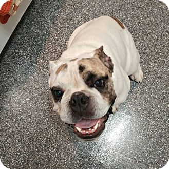 English Bulldog Puppy for adoption in Odessa, Florida - Rocco