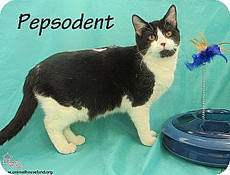 Domestic Shorthair Cat for adoption in St Louis, Missouri - Pepsodent