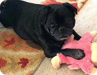 Pug Dog for adoption in Bellbrook, Ohio - Gigi