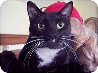 Domestic Shorthair Cat for adoption in East Stroudsburg, Pennsylvania - Spot II