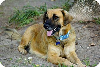 Shepherd (Unknown Type) Mix Dog for adoption in Houston, Texas - Barbie
