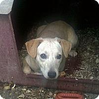 Adopt A Pet :: Abagail - Allentown, PA