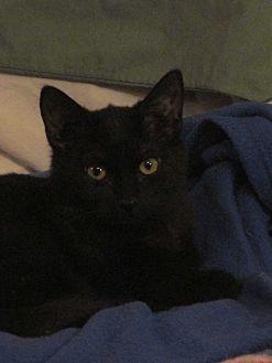 Domestic Shorthair Cat for adoption in Plattekill, New York - Clover