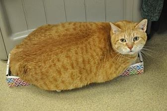 Domestic Shorthair Cat for adoption in Pompano Beach, Florida - Blondie