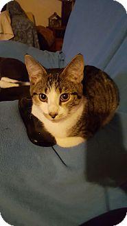 Domestic Shorthair Cat for adoption in Smithfield, North Carolina - Simo SPECIAL ADOPTION FEE