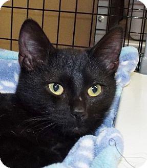 Domestic Shorthair Kitten for adoption in Grants Pass, Oregon - Gus