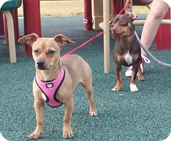 Dachshund/Chihuahua Mix Dog for adoption in Marrero, Louisiana - Reese - In Foster
