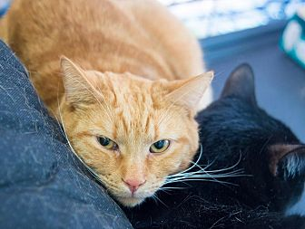 Domestic Shorthair Cat for adoption in New York, New York - Andy