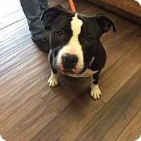 Adopt A Pet :: Snooki - Cashiers, NC
