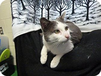 Domestic Shorthair Cat for adoption in South Haven, Michigan - Cuddles