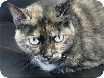 Domestic Shorthair Cat for adoption in Markham, Ontario - Petra