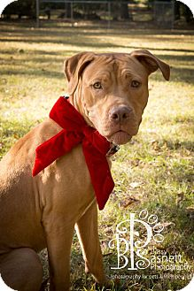 American Staffordshire Terrier Mix Puppy for adoption in Tallahassee, Florida - Pi