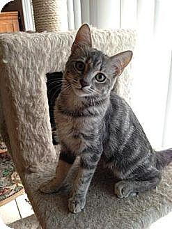 Domestic Shorthair Kitten for adoption in Miami, Florida - Monet