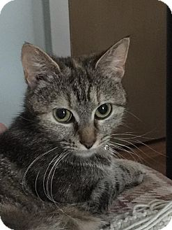 Domestic Shorthair Cat for adoption in Huntley, Illinois - Daphne