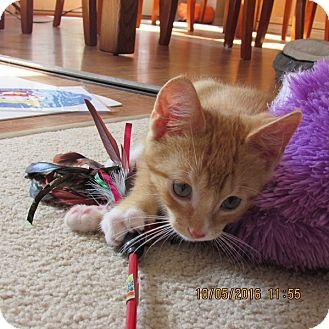 Domestic Shorthair Kitten for adoption in Cambridge, Ontario - Ollie