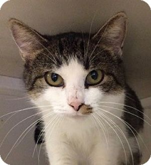 Domestic Shorthair Cat for adoption in White Cloud, Michigan - Autumn