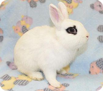 Dwarf Hotot for adoption in Chesterfield, Missouri - Hawkeye