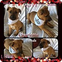 Adopt A Pet :: Charlotte-pending adoption - Manchester, CT