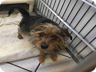 Yorkie, Yorkshire Terrier/Border Terrier Mix Dog for adoption in Canfield, Ohio - SQUEAK