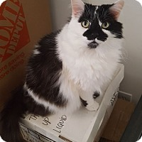 Domestic Longhair Cat for adoption in Little Falls, New Jersey - Kingston (JT)
