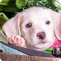 Adopt A Pet :: Simon - Colorado Springs, CO