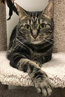 Domestic Shorthair Cat for adoption in Romeoville, Illinois - Mistie