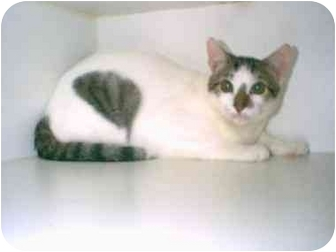 Turkish Van Cat for adoption in Owasso, Oklahoma - Sam (mixed breed)