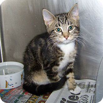 Domestic Shorthair Kitten for adoption in Dover, Ohio - Boots