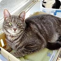 Domestic Mediumhair Cat for adoption in Belleville, Michigan - Marsha