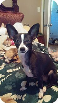 Chihuahua Mix Dog for adoption in Brooksville, Florida - Carlotta
