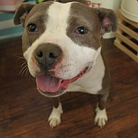 American Staffordshire Terrier Mix Dog for adoption in Detroit, Michigan - Margie-Foster Needed!