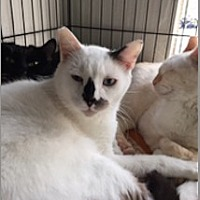Siamese Cat for adoption in Los Angeles, California - Dean