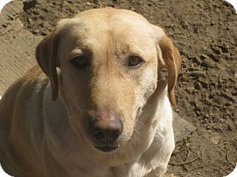 Labrador Retriever Mix Dog for adoption in Harrisburgh, Pennsylvania - Danielle