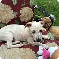 Adopt A Pet :: Pilot - Chicago, IL