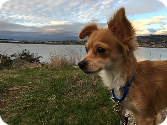Chihuahua/Spaniel (Unknown Type) Mix Dog for adoption in Emeryville, California - NAE NAE