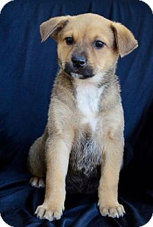 Cattle Dog/Shepherd (Unknown Type) Mix Puppy for adoption in Midland, Texas - Bashful