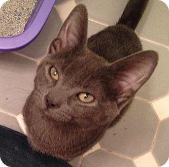 Domestic Shorthair Kitten for adoption in River Edge, New Jersey - Stavros