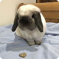 Adopt A Pet :: Cloudy - Chicago, IL