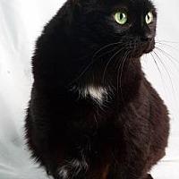 Domestic Shorthair Cat for adoption in Reno, Nevada - Katarina