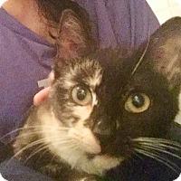 Adopt A Pet :: MAZZY STAR-Tender Cuddly Kitty - New York, NY