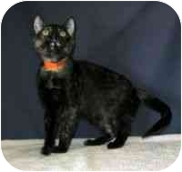 Domestic Shorthair Cat for adoption in Powell, Ohio - Emily