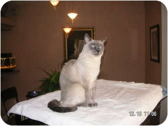 Siamese Cat for adoption in Phoenix, Arizona - PRINCESS
