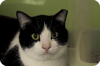 Domestic Shorthair Cat for adoption in Chicago, Illinois - Laser