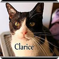 Adopt A Pet :: Clarice - Wichita Falls, TX