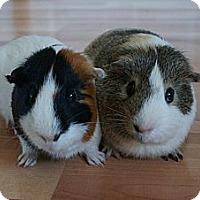 Adopt A Pet :: Apollo & Helios - Brooklyn Park, MN