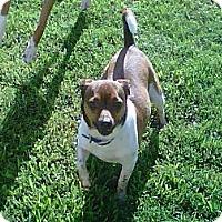 Adopt A Pet :: Jack in Houston - Houston, TX