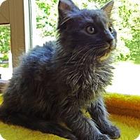 Adopt A Pet :: Dapper Dan - N. Billerica, MA