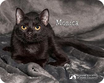 Domestic Shorthair Cat for adoption in Fort Mill, South Carolina - Monica 5425c